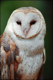 Owl, What Kingdom does it belong to?