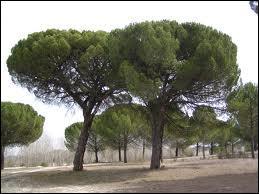 Pine Tree, What's its Kingdom?