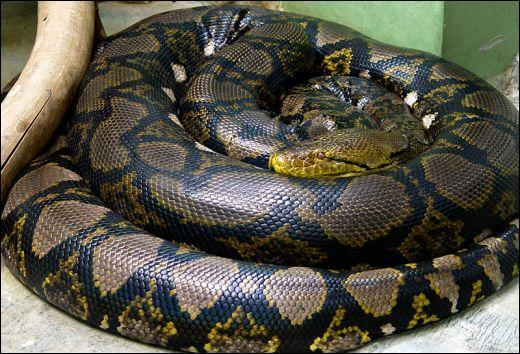 How ... can a reticulated python grow up to? 10 - 12 m.