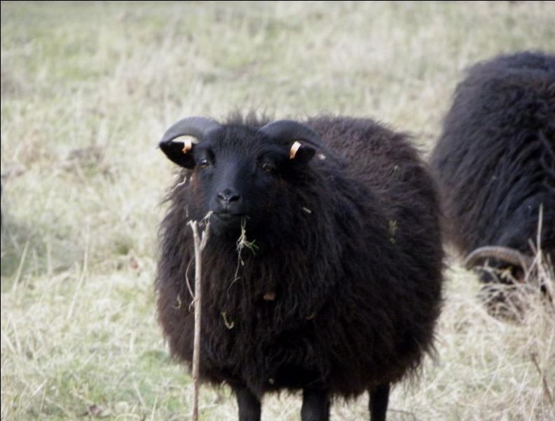 What do black sheep say?