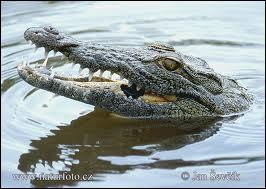 What noise does a crocodile make when it shuts its jaws?