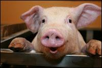 What guttural noise do pigs make?
