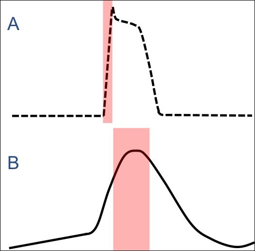 What is the function of the delayed action potential in the AV node, compare to that of a Purkinje Fibre, illustrated below?