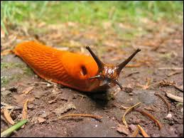 Slugs are similar to leeches with the main difference of antennae.