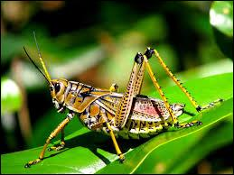 This invertebrate animal is a grasshopper.
