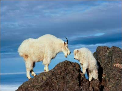 Thanks to their cloven ... mountain goats are amazing climbers.