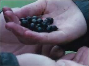 What is the name of the berries that killed Foxface?
