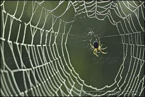 A spider eats its old ... before constructing a new one.