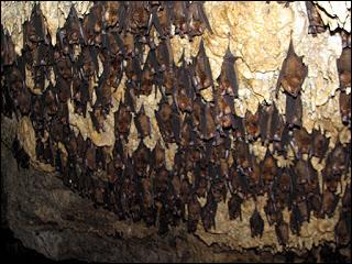 Bats are the only mammals that can fly. A bat that is flying is almost impossible to catch. During the day many species of bats sleep in a ... .