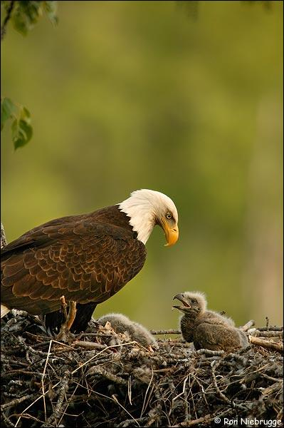 Bald eagles are splendid birds. They eat fish. A baby eagle grows in a nest known as a (an) ... .