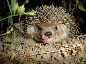 A hedgehog lives in a ... which it digs underground. During hibernation it builds a nest called a hibernaculum.