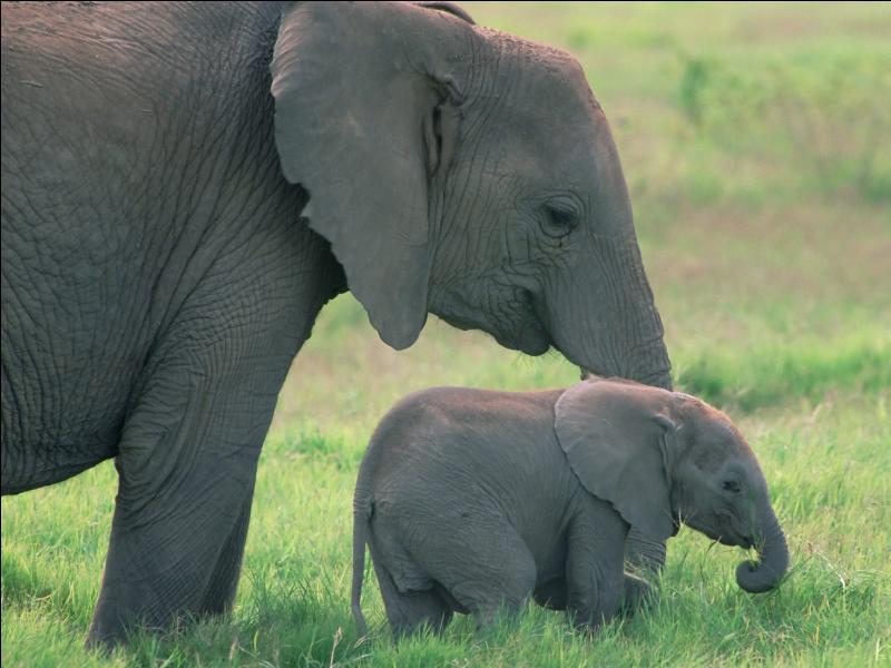 How much does a baby elephant ... at birth? Around 120 kg.