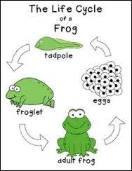 Is the frog a non-living thing?