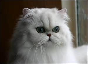 What breed is this cat ?