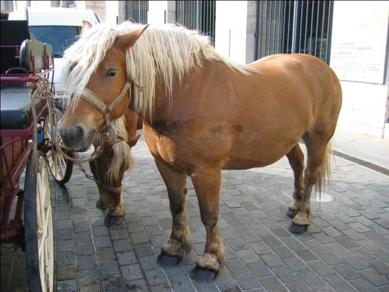 What is the breed of this French horse?
