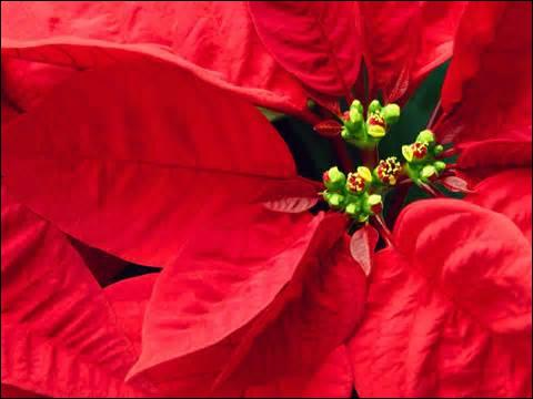 Do poinsettias (A type of flower) kill cats?