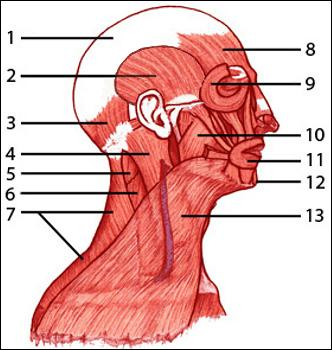 Quiz muscular test quiz sciences on the diagram presented label 8 identifies which muscle ccuart Choice Image