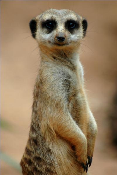 Select the habitat this meerkats live in.
