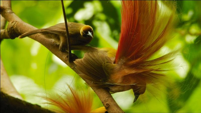 Birds of Paradise live in New-Zeland !