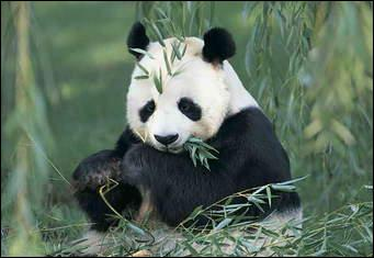 How many hours a day do pandas spend eating?