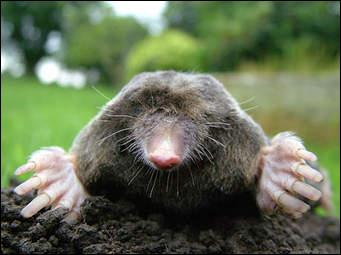 Where is the place that moles do not come from?