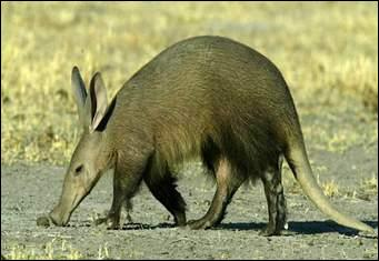 What animal is the aardvark mostly related to?