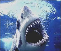 How many CM is the great white shark?