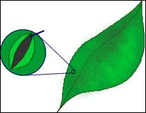 The tiny (minúsculos) pores on the underside of the leaves where carbon dioxide enters are :