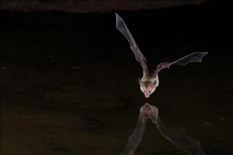 Are bats mammals or birds?